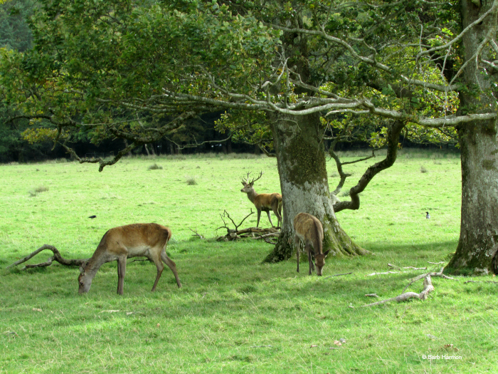 Red deer rut in Killarney National Park, Ireland